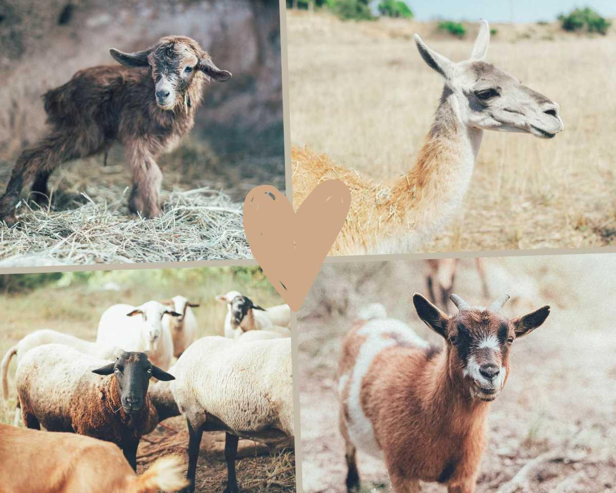 Cabras, ovejas y Ofelia