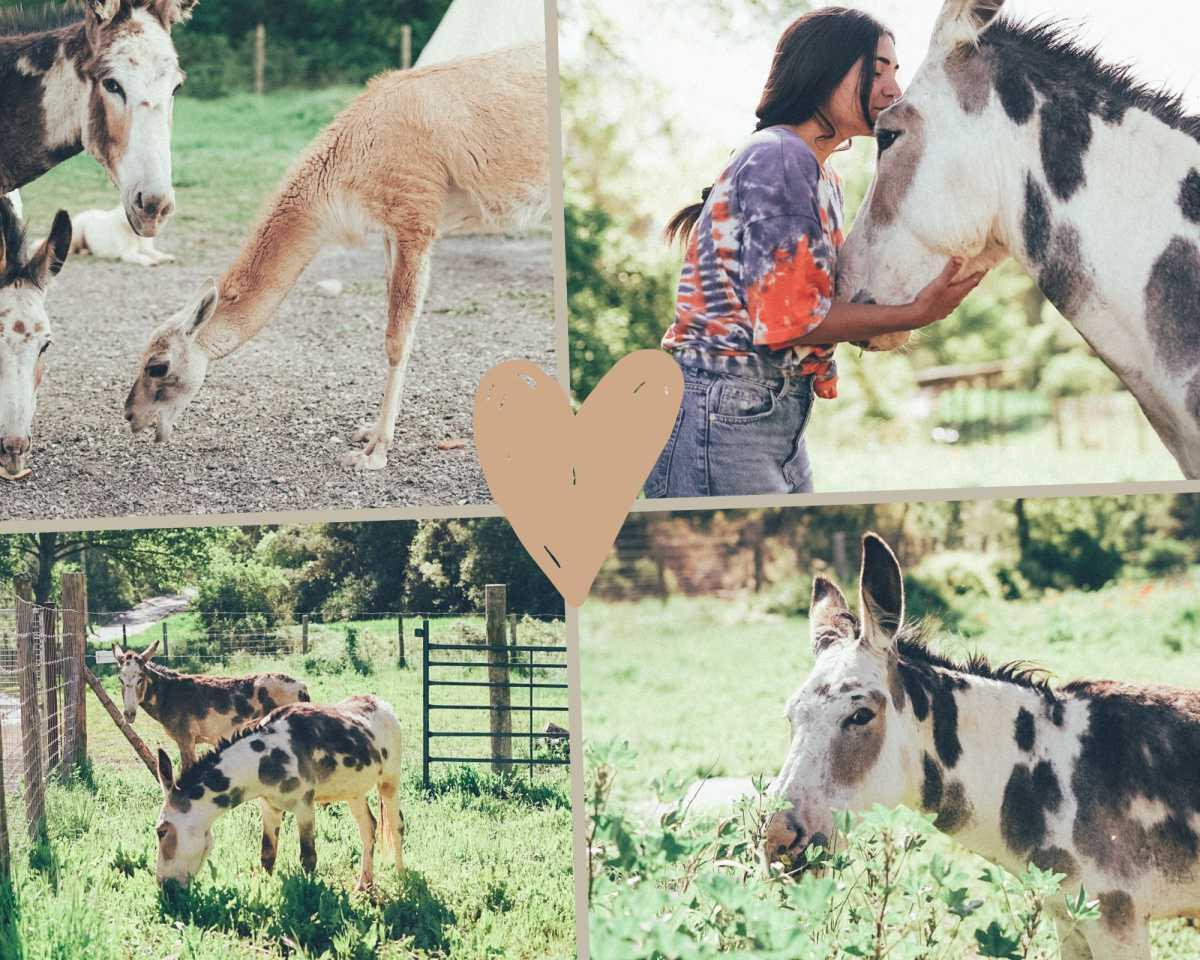 Los Burros - Equus africanus asinus