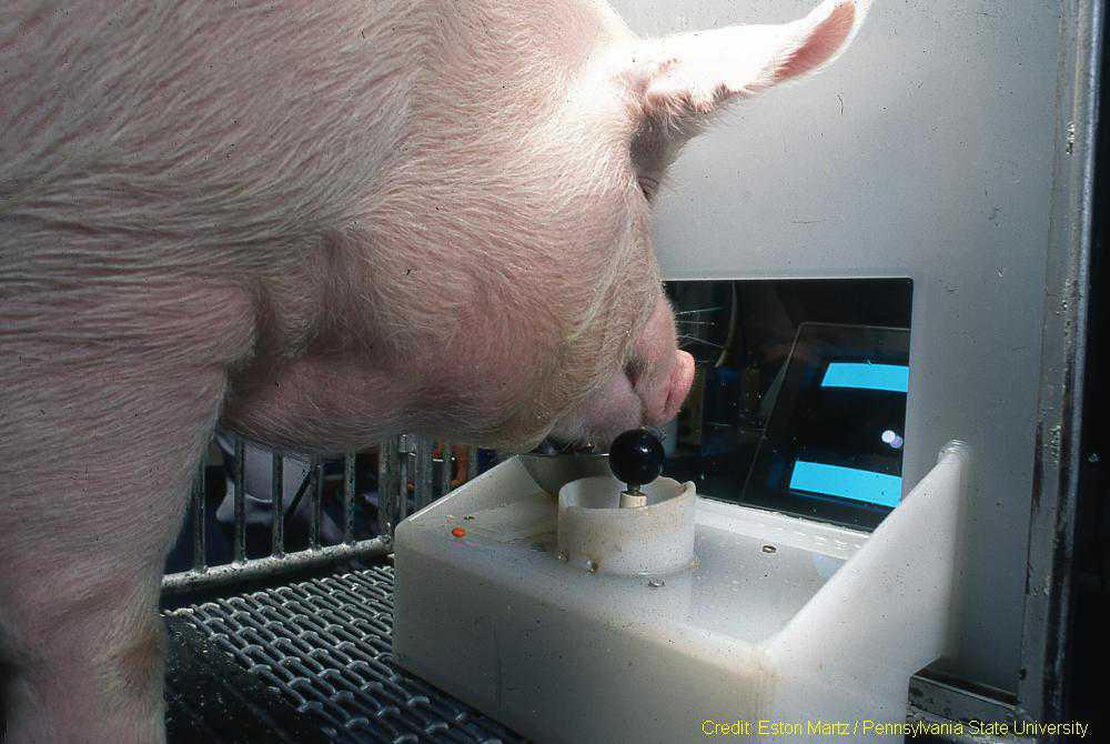Sn-outer this world: Pigs are playing videogames to enable better farming practices, according to scientists