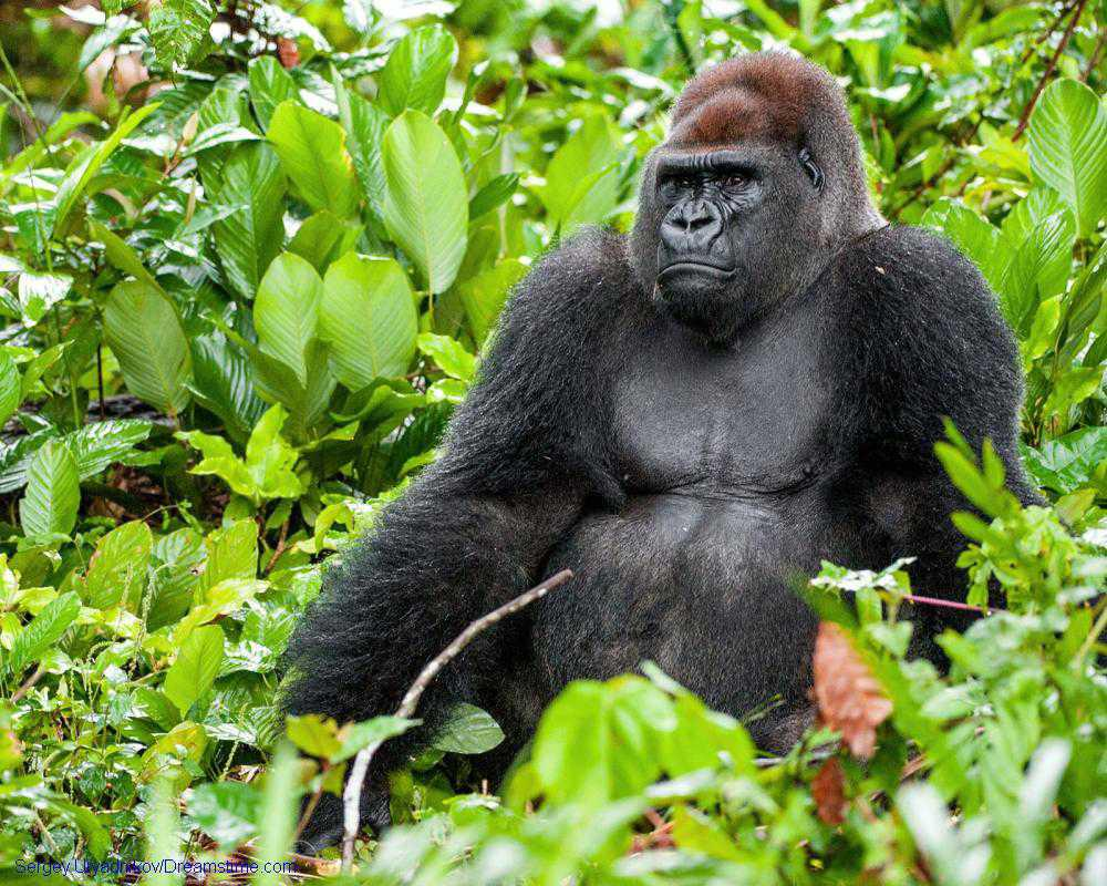Gone in a flash: Experts urge photographers to socially distance from gorillas