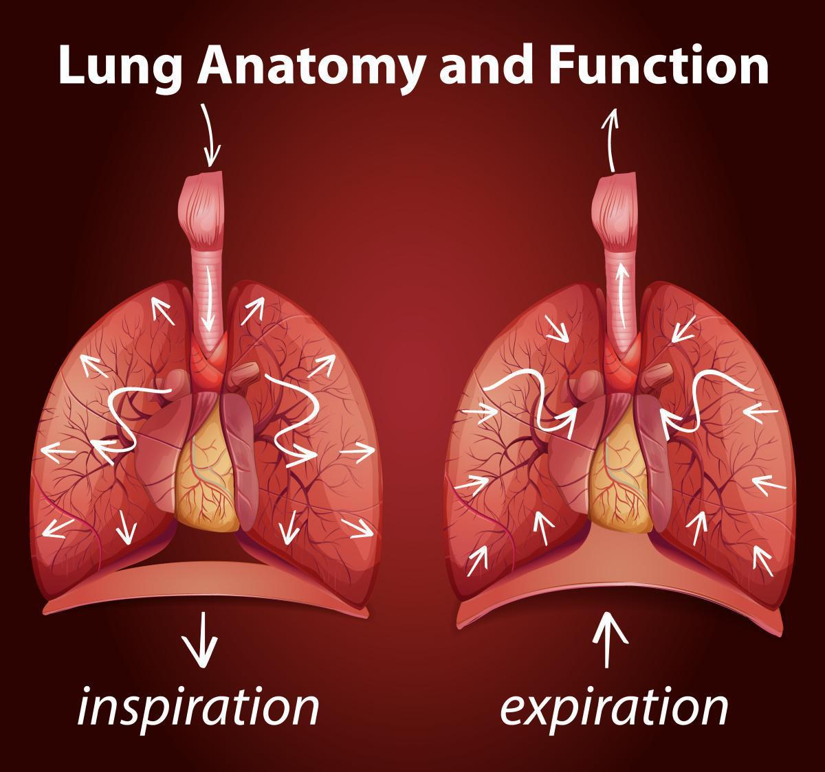 Respirer - le Diaphragme, un muscle majeur
