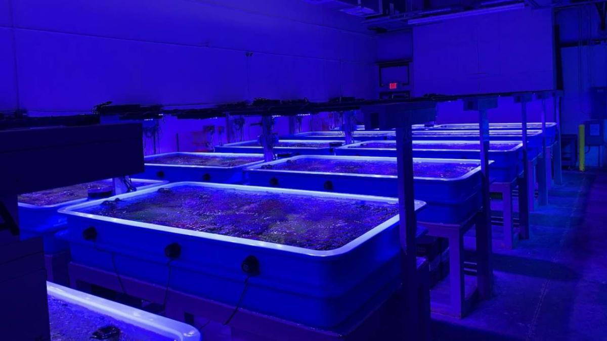 SeaWorld, Disney und andere arbeiten zusammen, um Floridas Korallenriffe zu retten!