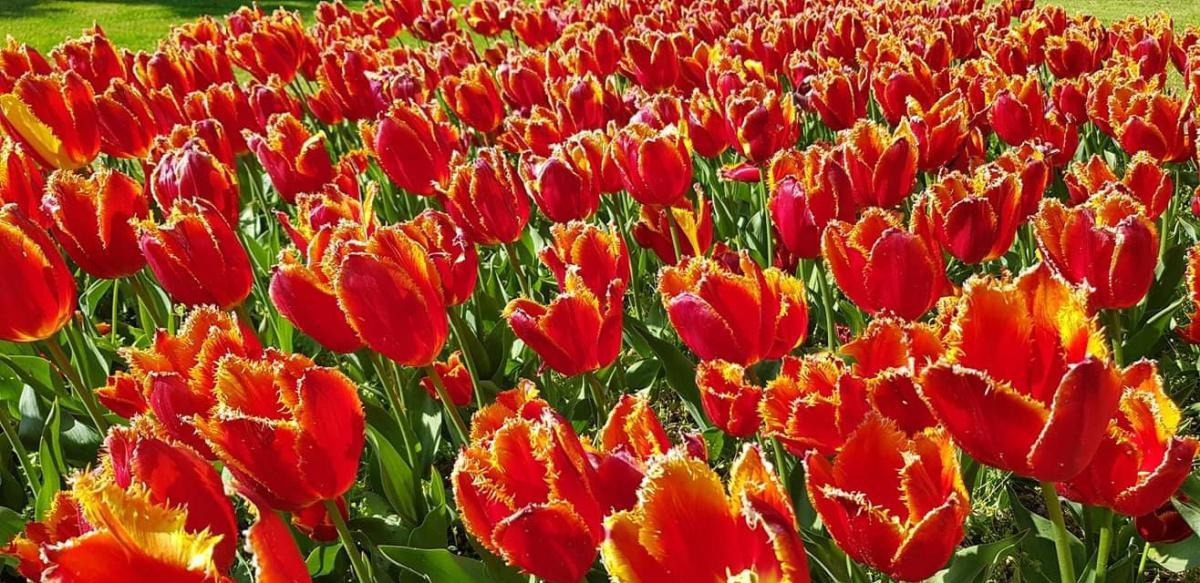 Il Giardino Sigurtà al tempo dei Tulipani