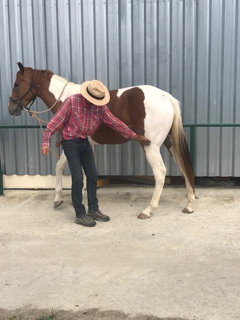Débourrage et travail du jeune cheval 2