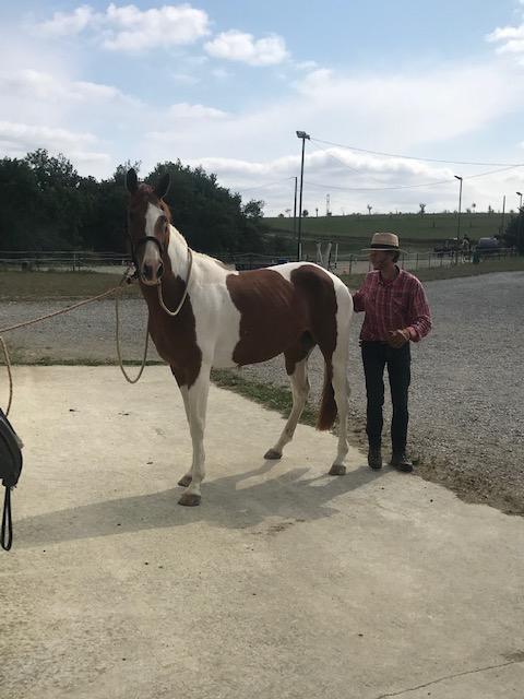 Débourrage et travail du jeune cheval 1
