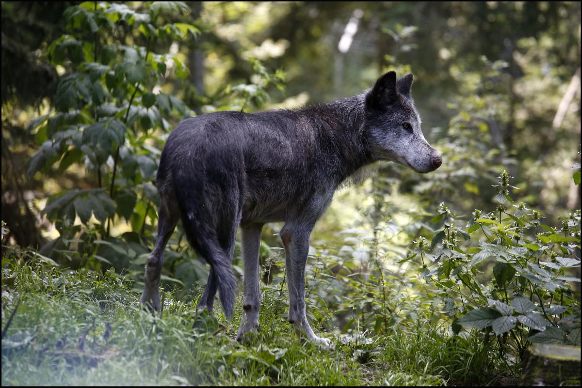 Tempête Alex : Les loups du Parc Alpha activement recherchés