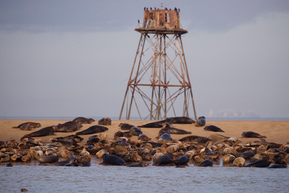 [ Focus ] - Insolite : des phoques par centaines sur le banc des Hemmes de Marck (Pas-de-Calais)
