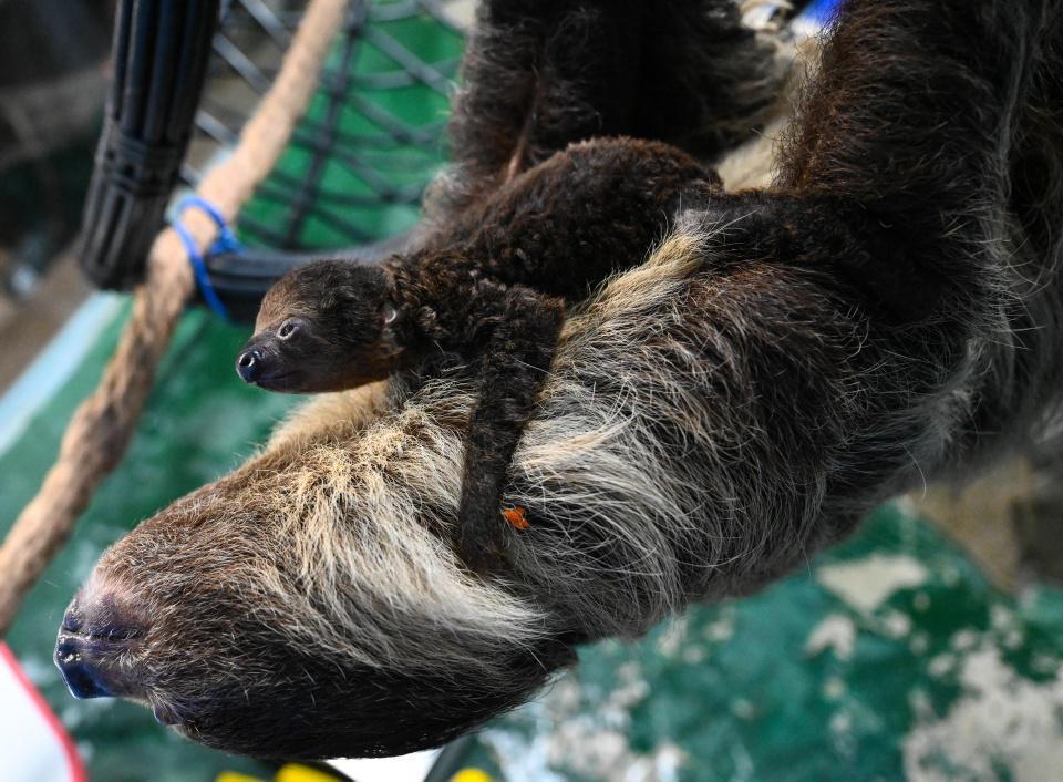 [Focus] - Trop chou ! Naissance d'un bébé paresseux en Chine