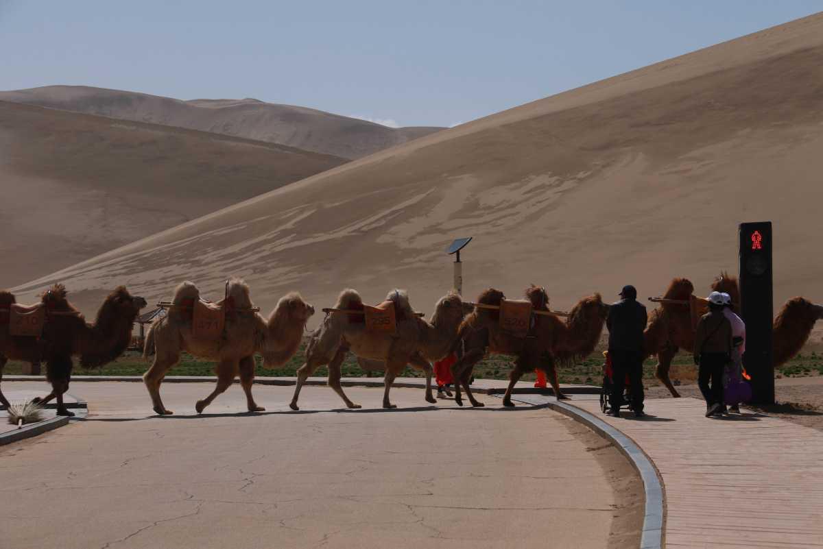 [Focus] - Insolite : Installation d'un feu de circulation pour chameaux dans la région de Dunhuang en Chine