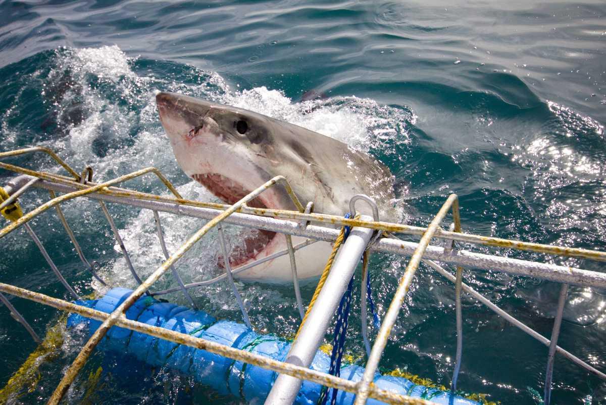 [Focus] - Afrique du Sud : Nage avec le grand requin blanc