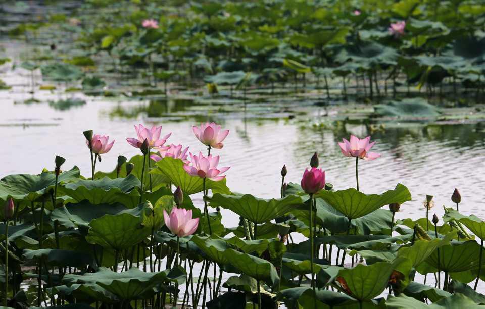 [Focus] - Wow ! La floraison du lotus en Asie, par ici les belles photos !