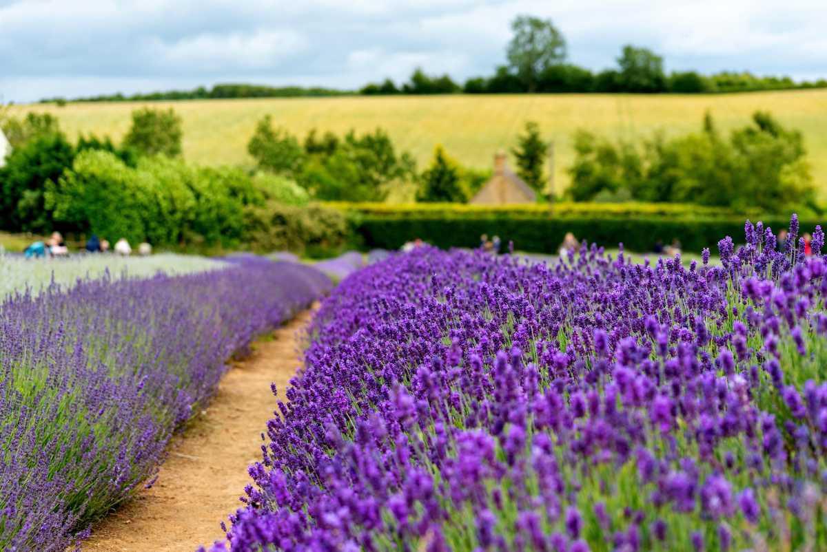 [ Focus ] - Tourisme en Provence, découvrez les plus beaux champs de lavande !