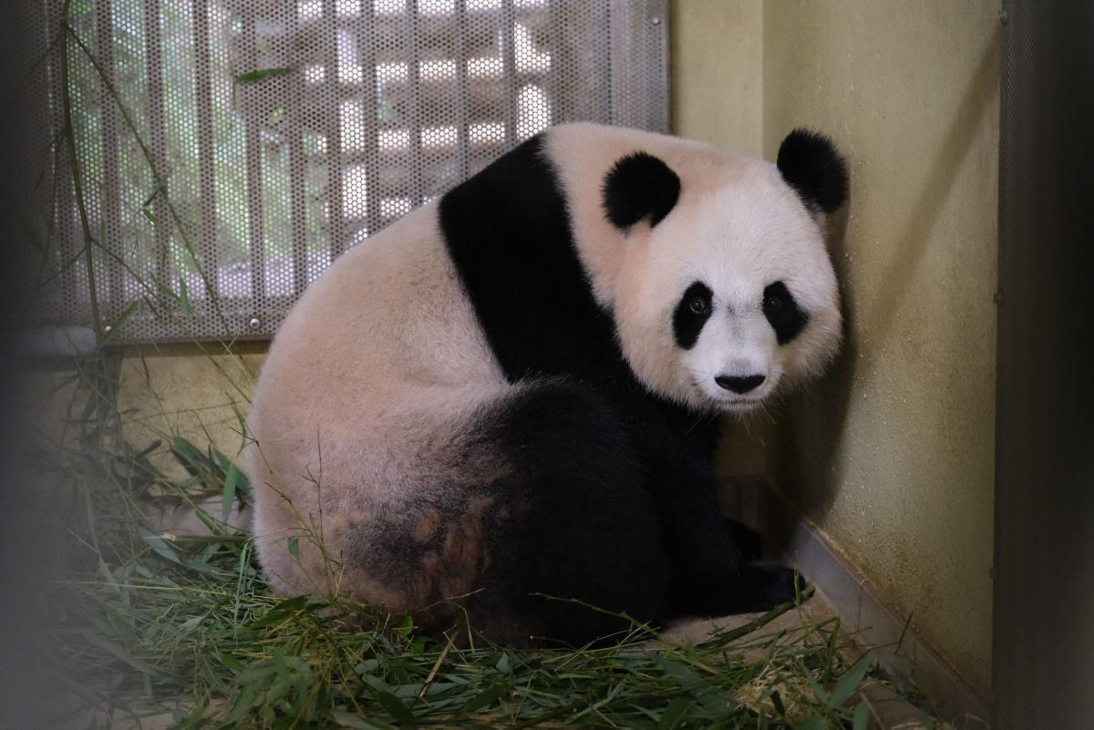 [Focus] - Naissance de deux bébés pandas au zoo de Beauval !