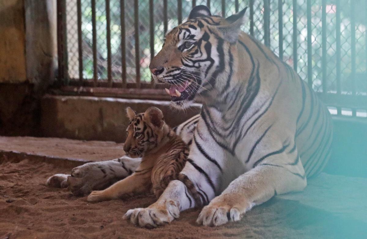 [ Focus ] - Naissance de bébés tigres du Bengale au zoo de Dhaka au Bangladesh!