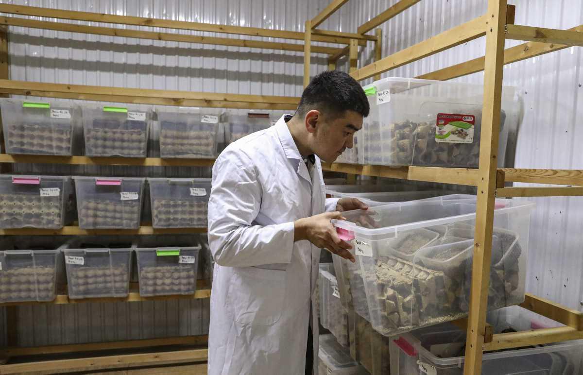[Focus] - Insolite : visite de la première ferme de grillons de Bishkek au Kirghizistan