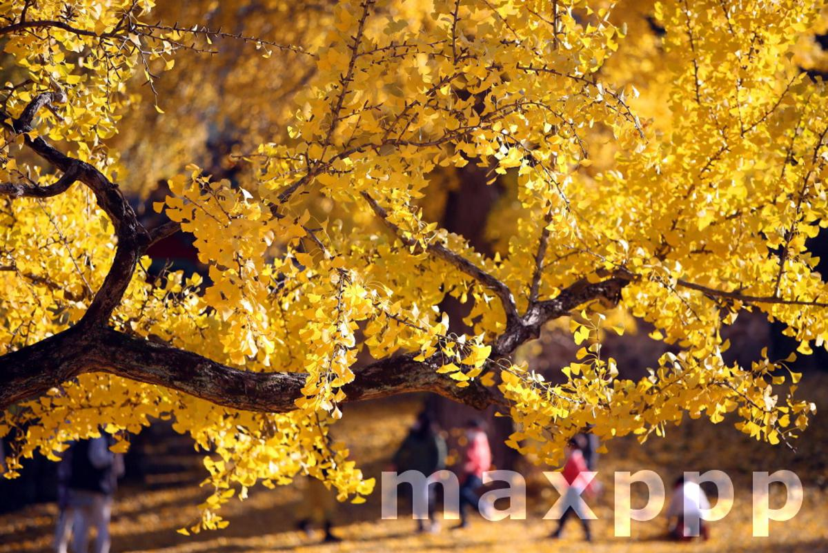 Ginkgo tree turns yellow