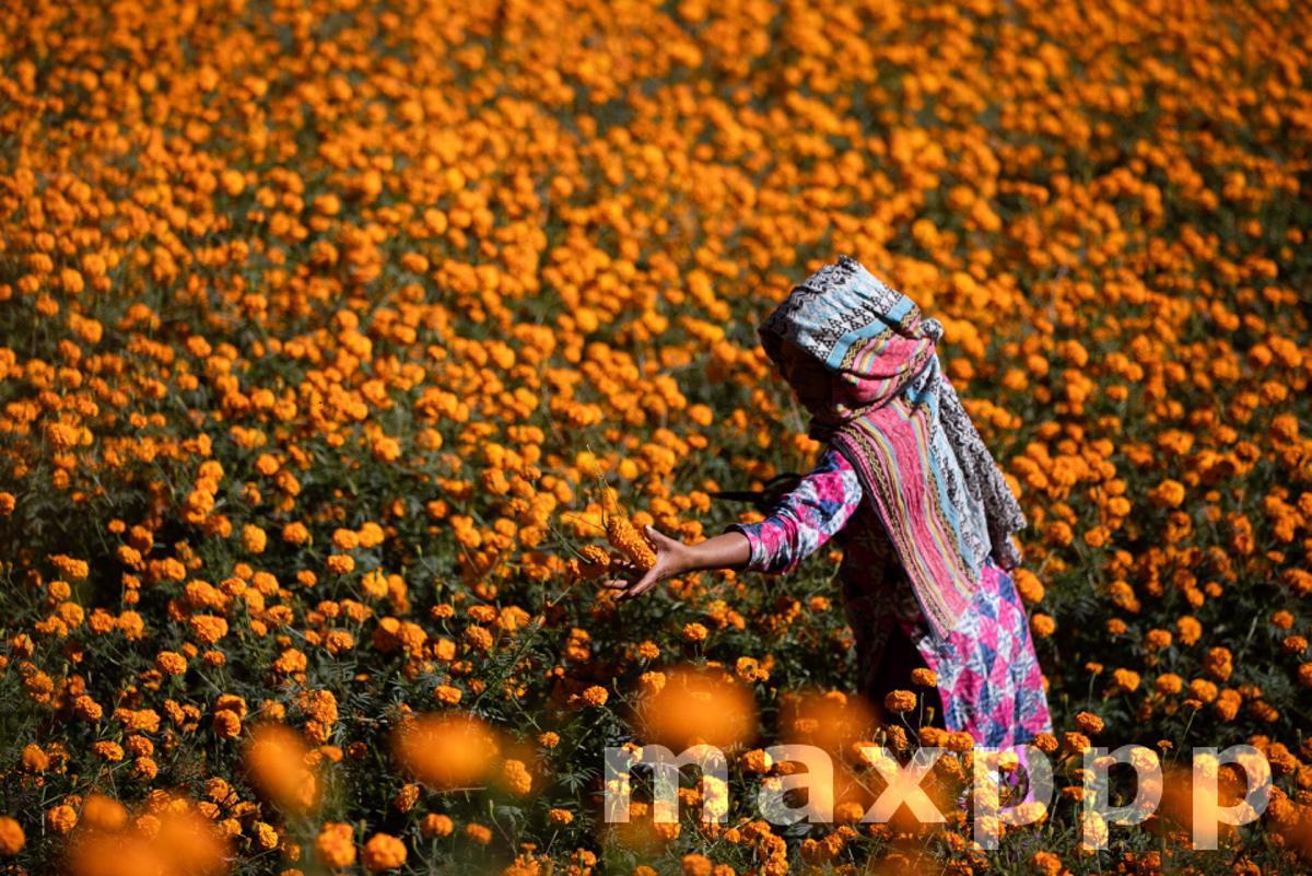 Marigold Harvest for Tihar Festival in Kathmandu, Nepal