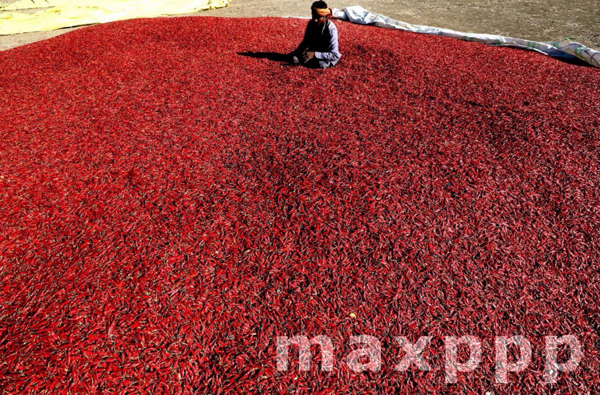 Red chilli harvest in Indore, India