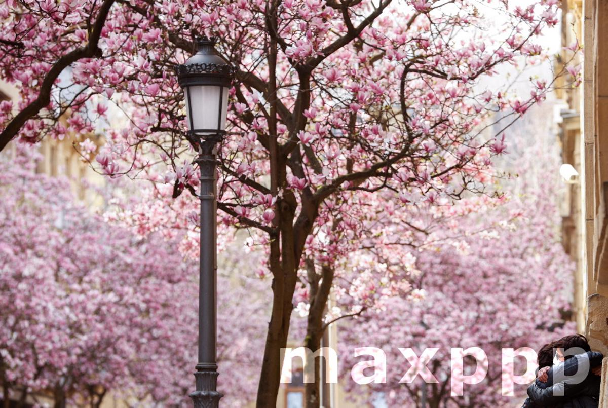 Magnolia trees in bloom