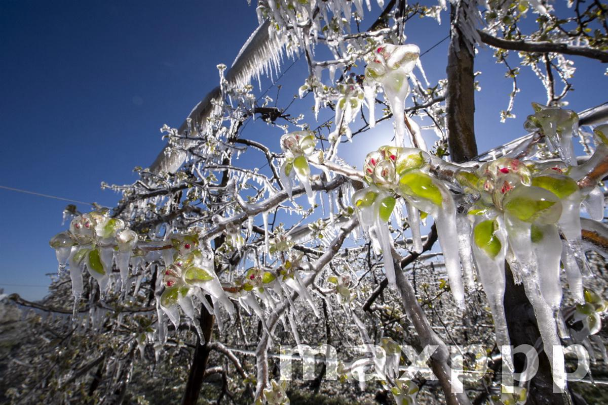 Fruit trees covered with a layer of ice