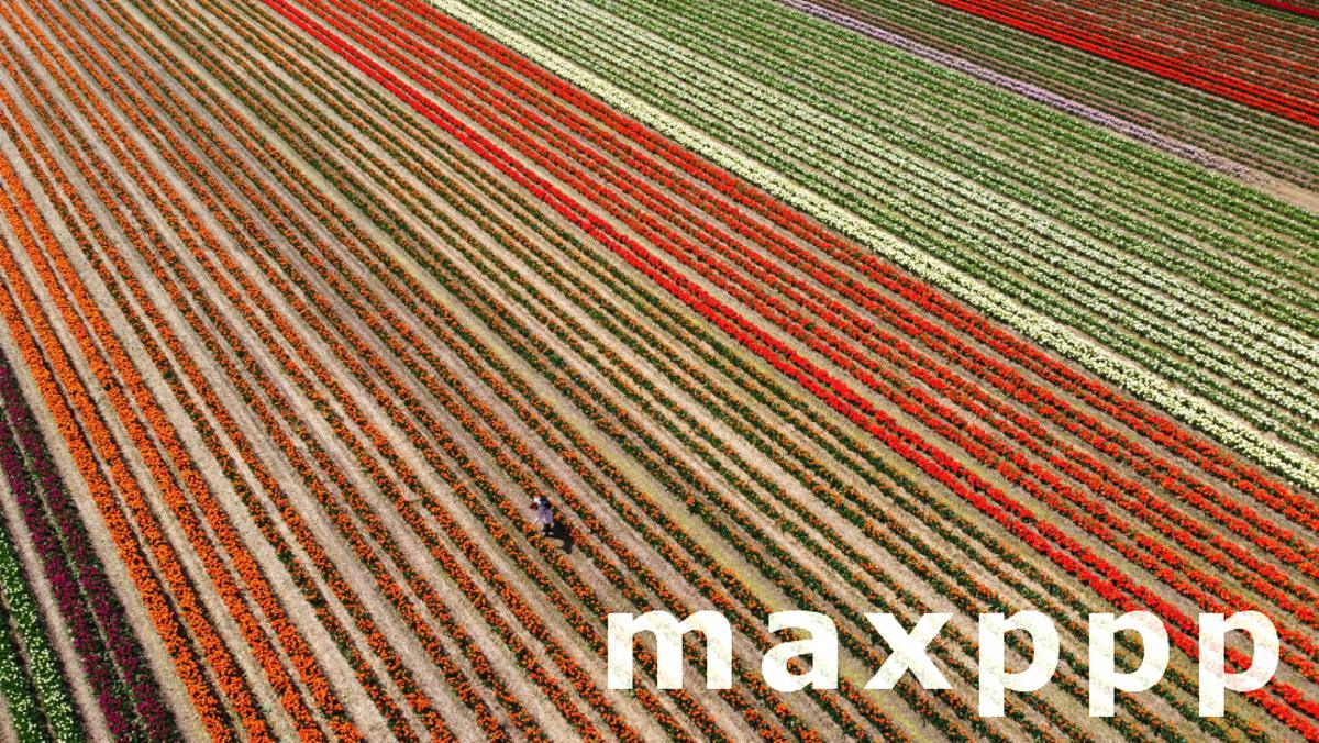 Tulips in bloom at the Paulushof near Grevenbroich