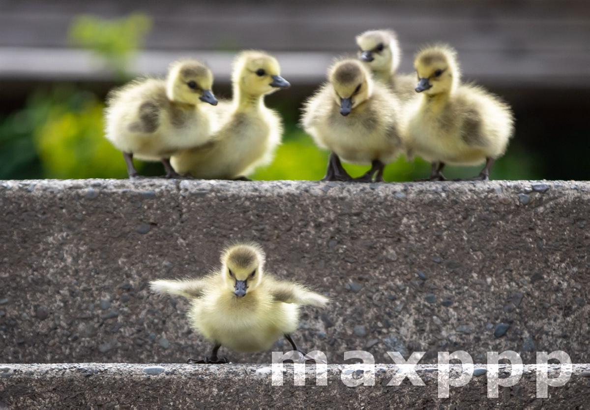 geese goslings