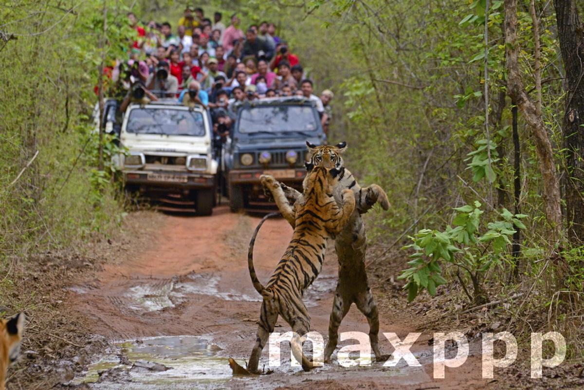 Tigres du bengal et touristes