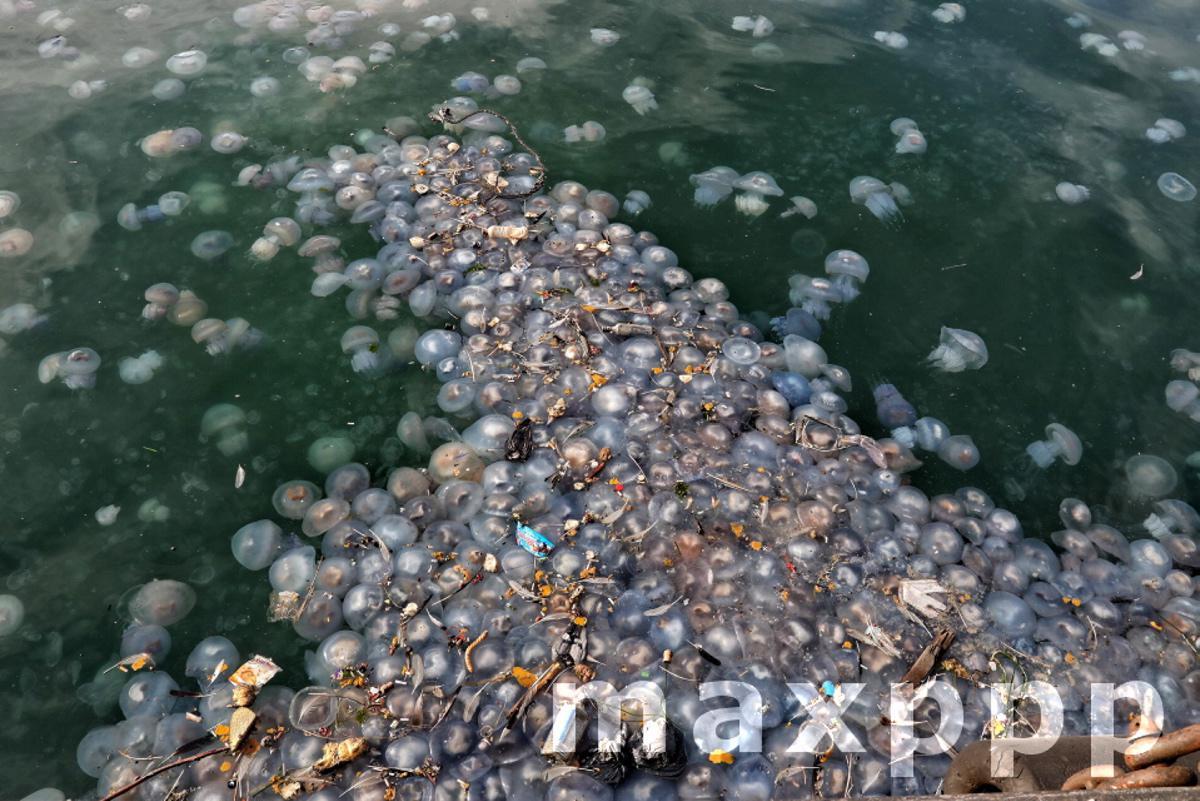 Jellyfish swarm sea waters of Odesa port