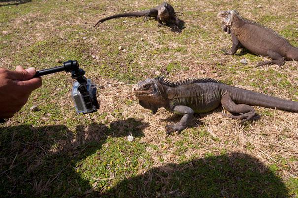 Les iguanes de la Désirade
