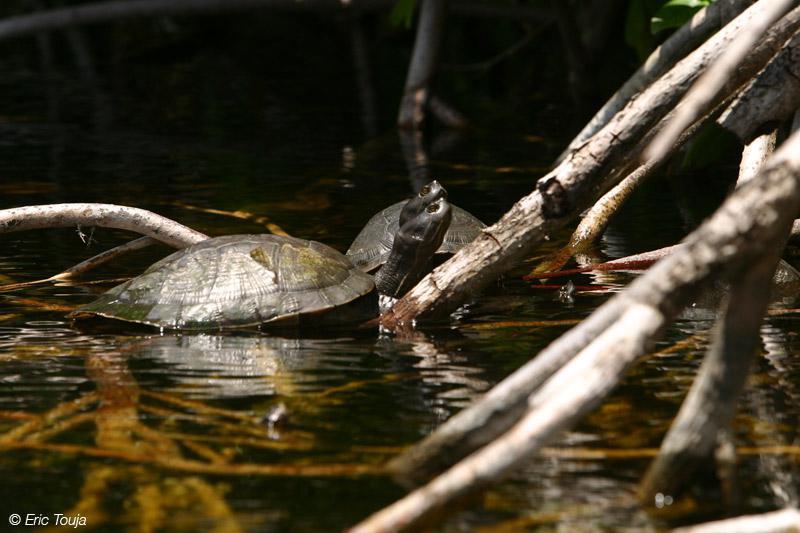 La mangrove de Marie-Galante