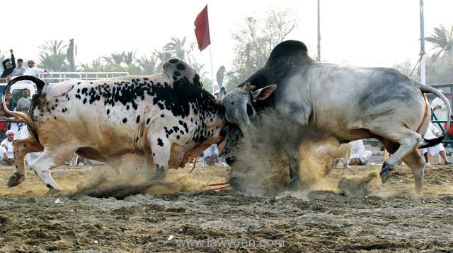 ساحة مصارعة الثيران-Fujairah Bull Fighting
