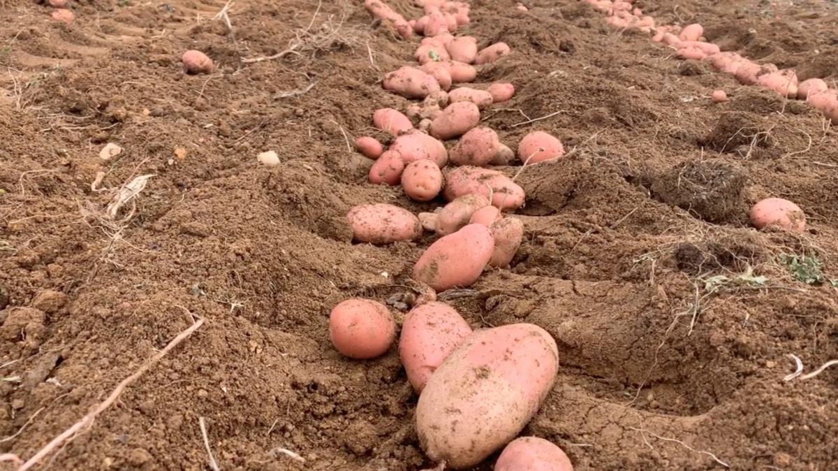 Quant'è buona la patata di Bolca!