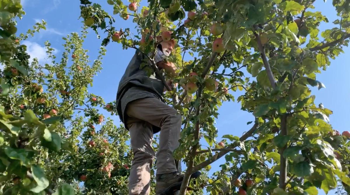 Asiago: le mele antiche di Antonio Cantele