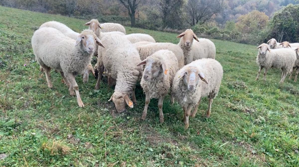 La lana che nasce nei pascoli della Lessinia